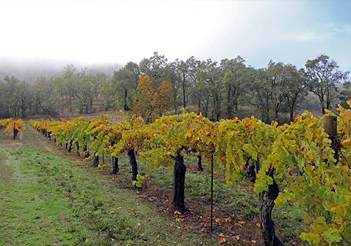 Cole Ranch Vineyard, Ukiah, California